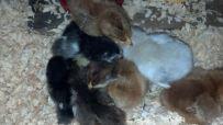 baby chicks sleeping