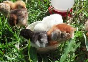 chicks outside in food bowl