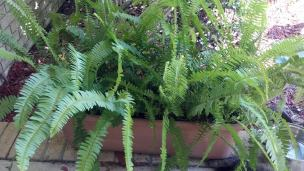 These ferns are from our wedding. They have survived thirteen years and are thriving in their new location. In fact, pretty soon I will have to transfer some to another pot.