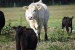 10.09.17 cows 044