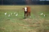 10.09.17 cows 051