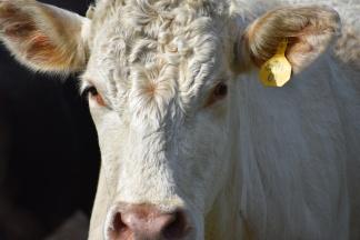 10.09.17 cows 059