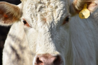 10.09.17 cows 060
