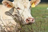 10.09.17 cows 062