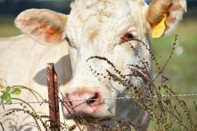 10.09.17 cows 063