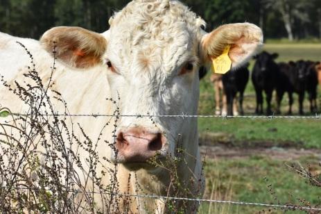 10.09.17 cows 068