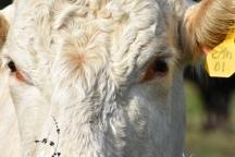 10.09.17 cows 069