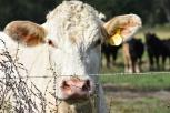 10.09.17 cows 071