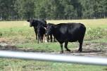 10.09.17 cows 075
