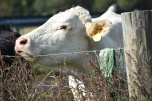 10.09.17 cows 080