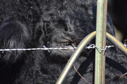 10.09.17 cows 087