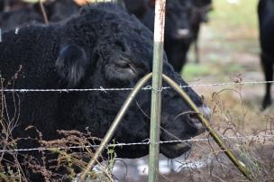 10.09.17 cows 088