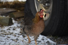 December 2017 Virginia Pigeon Forge Animals 622