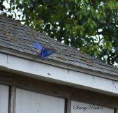 Blue Bird chasing scrub